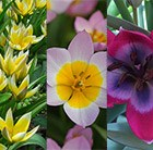 Vibrant Species Tulip collection