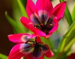 Tulipa 'Little Beauty' (species tulip)