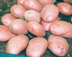 potato 'Sarpo Axona' (late maincrop potato)