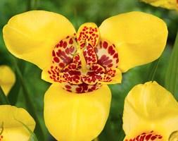 Tigridia pavonia 'Aurea' (tiger flower)