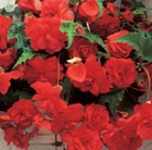 Begonia Red Glory