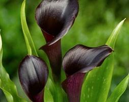 Zantedeschia 'Odessa' (PBR) (calla lily)