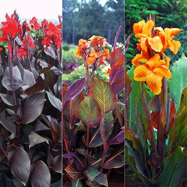 Three exotic, eye-catching cannas for summer pizazz, chosen by plant buyer John Hiorns