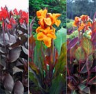Classic Canna collection