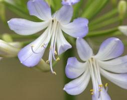 Agapanthus 'Phantom' (African lily)