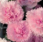 Dianthus Candy Floss ('Devon Flavia') (Scent First Series) (PBR)