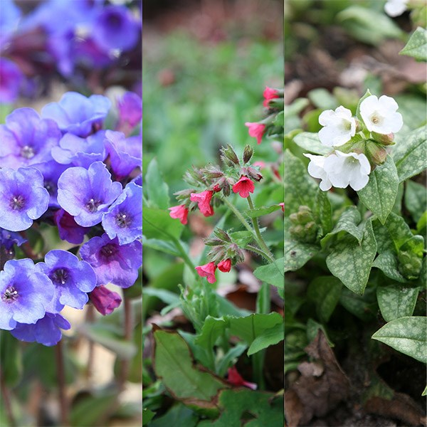 Pretty Pulmonarias chosen by John Hiorns