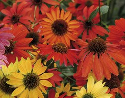 Echinacea Cheyenne Spirit mixture (coneflower)