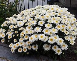 Leucanthemum Freak!  ('Leuz0001') (shasta daisy)