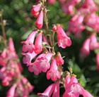Penstemon Pennington Gem