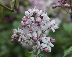 Deutzia x hybrida Mont Rose (deutzia)