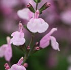 Salvia × jamensis Peter Vidgeon