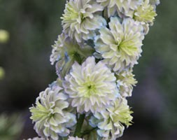 Delphinium 'Moon Light' (Highlander Series) (delphinium)