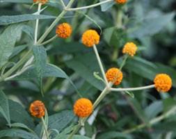 Buddleja globosa (orange ball tree)
