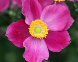 Anemone x hybrida 'Pretty Lady Diana' (Pretty Lady Series) (Japanese anemone)