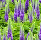 Veronica spicata Royal Candles = 'Glory' (PBR)