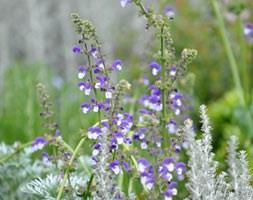 Salvia 'Madeline' (PBR) (sage)