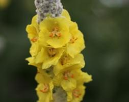 Verbascum bombyciferum 'Polarsommer' (mullein)