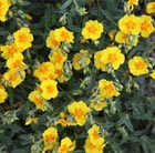 Helianthemum Butter and Eggs