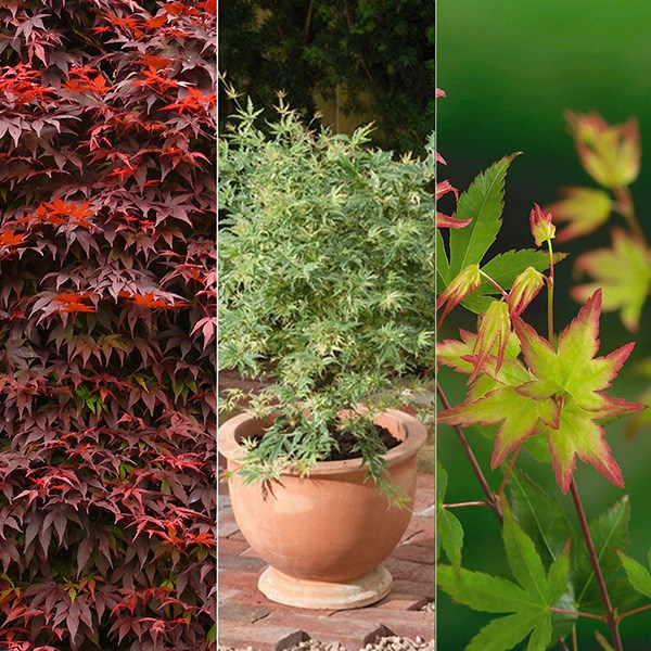 Three elegant Japanese maples, chosen by plant buyer John Hiorns