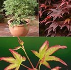 Acer Collection + FREE ROOTGROW