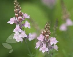 Linaria purpurea 'Canon J. Went' (toadflax)