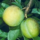 greengage Oullins Golden