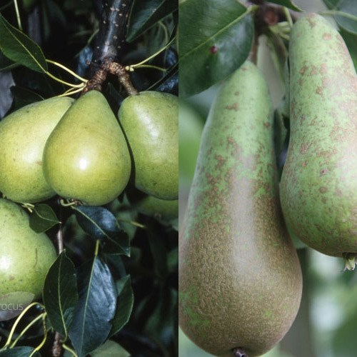 duo cordon pear