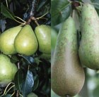 pear Conference / Invincible