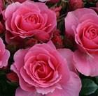 rose You're Beautiful (floribunda)