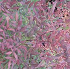 Nandina Plum Passion