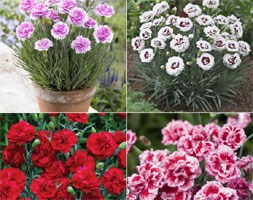 fragrant dianthus