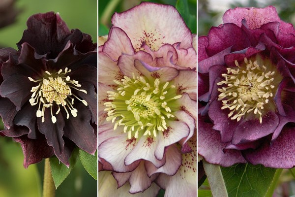 Hellebores are tougher than they look