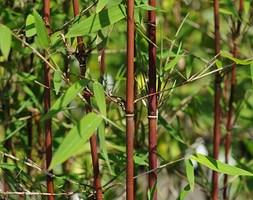 Fargesia Red Panda ('Jiu') (umbrella bamboo)