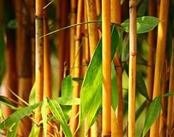 Phyllostachys vivax f.  aureocaulis (yellow-groove bamboo)