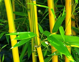 Phyllostachys aureosulcata f. spectabilis (showy yellow-groove bamboo)