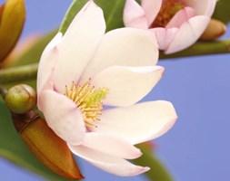Magnolia Fairy Magnolia Blush ('MicJur01') (fairy magnolia)
