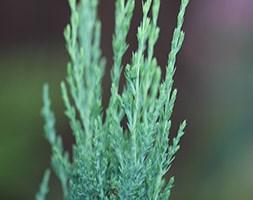 Juniperus scopulorum 'Blue Arrow' (Rocky Mountain juniper)