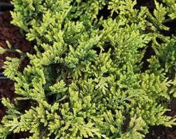 Juniperus horizontalis 'Golden Carpet' (juniper Golden Carpet)