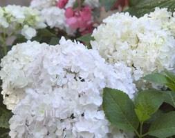 Hydrangea 'Blushing Bride' (PBR) (hydrangea)