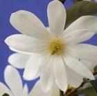 Magnolia Fairy Magnolia White ('MicJur05') (PBR)