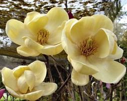 Magnolia Honey Tulip = 'JurmagXXXX' (PBR) (magnolia)