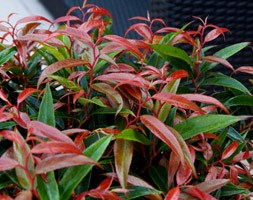 Leucothoe keiskei Burning Love ('Opstal50') (PBR) (switch ivy)