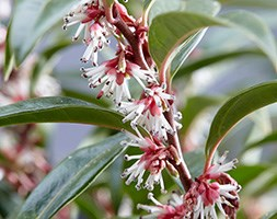 Sarcococca Winter Gem ('Pmoore03') (PBR) (sweet box)
