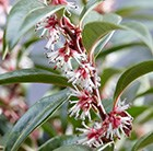 Sarcococca hookeriana Winter Gem = 'Pmoore03' (PBR)