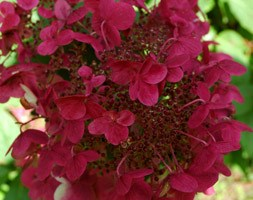 Hydrangea paniculata 'Wim's Red' (PBR) (hydrangea)
