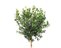 Myrtus communis (myrtle (mini half standard))