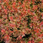 Berberis thunbergii Golden Ruby = 'Goruzam' (PBR)
