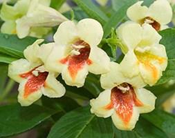 Weigela middendorffiana 'Mango' (weigela / weigelia)