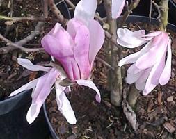 Magnolia stellata 'Rosea' (star magnolia)